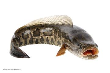 Tahukah Bunda ? Ternyata Ikan Gabus Memiliki Khasiat Khusus Bagi Anak Lho