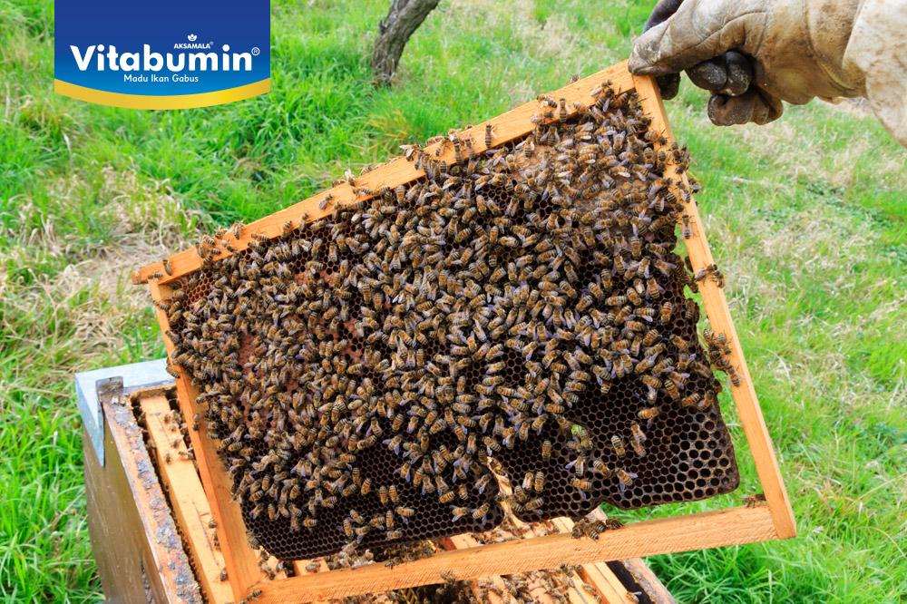 Mengenal Lebih Dekat Lebah Madu Indonesia